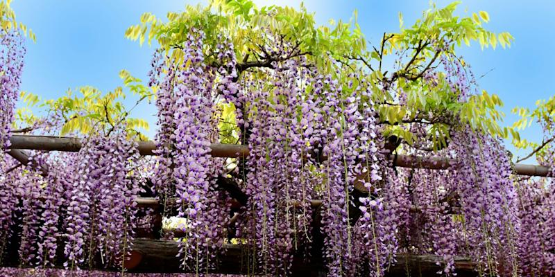 Home Depot Is Selling 25 Wisteria Trees You Can Plant In Your Backyard
