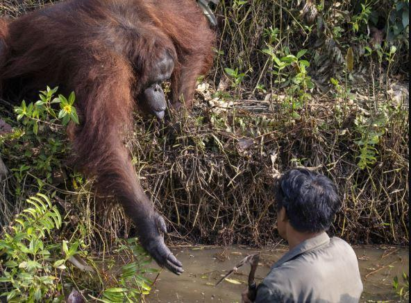 The huge ape gently stoops to offer help.