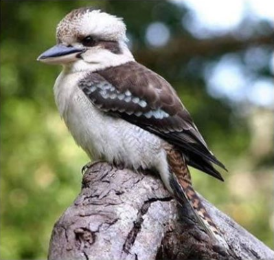 Kevin the kookaburra was reportedly ripped apart by the man after the bird ate some of his meal. Source: Facebook/Parkerville Tavern
