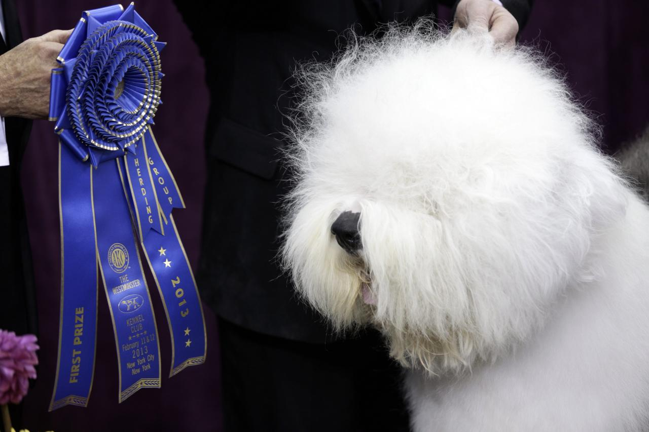 Swagger, an Old English Sheep Dog, is posed for photographs after winning the hearding group during the Westminster Kennel Club dog show, Monday, Feb. 11, 2013, at Madison Square Garden in New York. (AP Photo/Frank Franklin II)