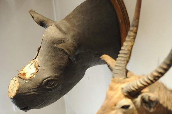 rhino horns theft germany, rhino horns stolen from museum, woman arrested for stealing rhino horns spain