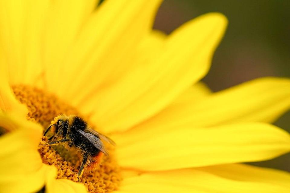 The electrical charge created by visiting bumblebees stimulates some flowers to release more of their sweet-smelling scent, scientists have found (PA) (PA Wire)