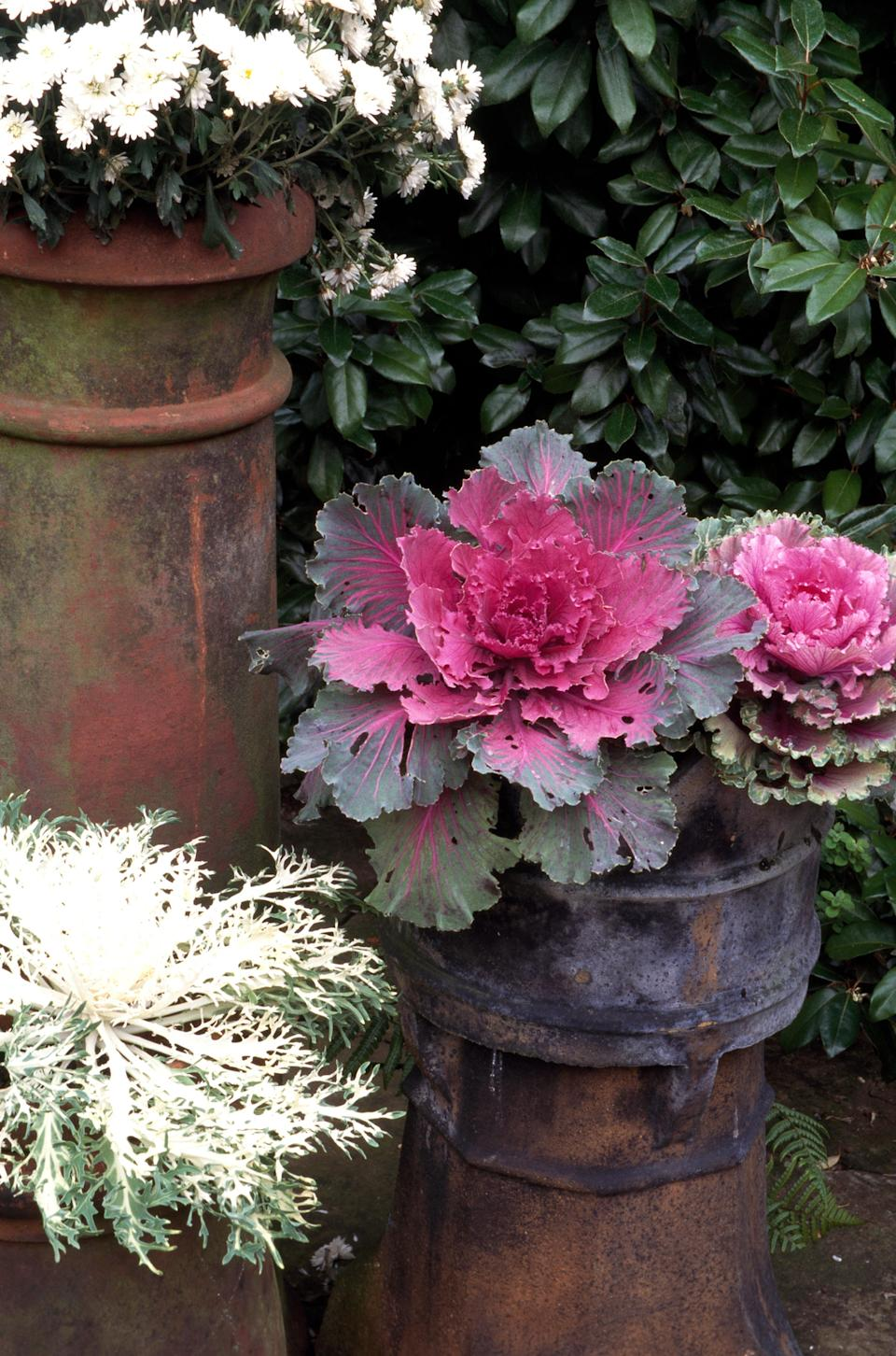 ornamental cabbage planter