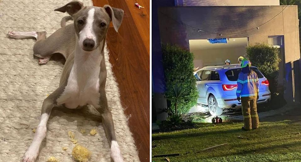 Vic the greyhound and the Audi in the home.