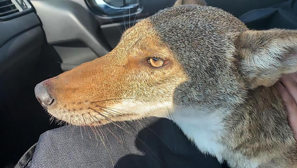A young woman who rescued what she thought was an injured stray dog on the outskirts of her home city has discovered it is actually a wild coyote. Source: CEN / Australscope.