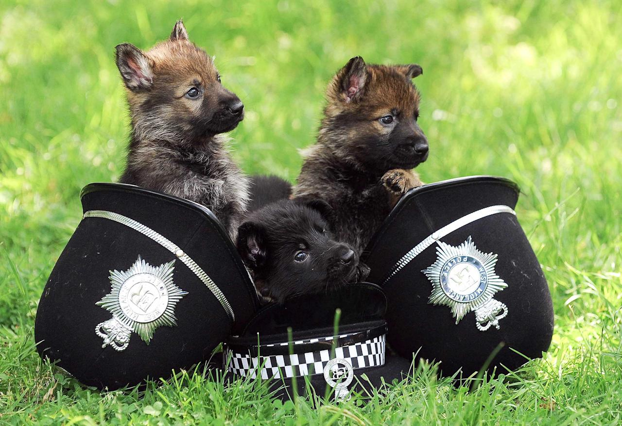 "These adorable German Shepherd puppies may look cute but they are being trained to be the fearless police dogs of the future. Refer to NTIDOGS. The seven-week-old pups are being groomed as the next generation of canine crime-fighters for West Midlands Police. The cute and fluffy dogs are being taught to be ""obsessed with toys"" to assist their training for this very serious job. The 26 dogs will be placed with volunteers in just two weeks to help them become socialised and accustomed to different environments. They will then go through several assessments to see if they are suitable, before being paired up with an officer to start training in earnest at just 15 months old."