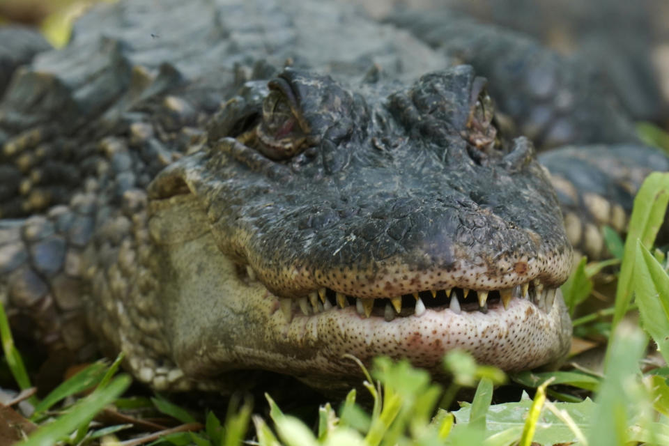 An alligator is seen on Avery Island, La., where Tabasco brand pepper sauce is made, Tuesday, April 27, 2021. The company has been brewing Tabasco Sauce since 1868 on Avery Island — the tip of a miles-deep column of salt — and now fills up to 700,000 bottles a day, selling them in 195 countries and territories. (AP Photo/Gerald Herbert)