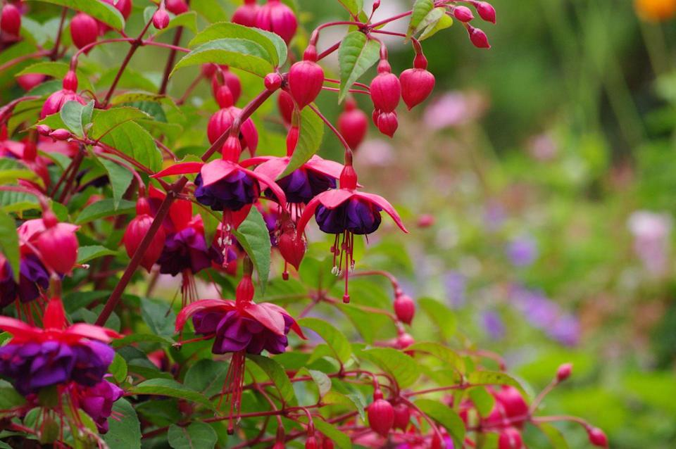 <p>Know that fuchsias don't bode well in hot climates, but they are great as hanging plants for summer and will attract hummingbirds. They do wonderfully along the coast or in cool areas.</p><p><strong>Zones: 8-10 </strong></p>