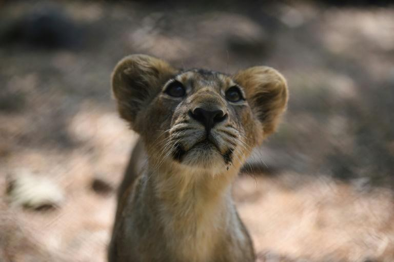 Asiatic lions were once found widely across southwest Asia