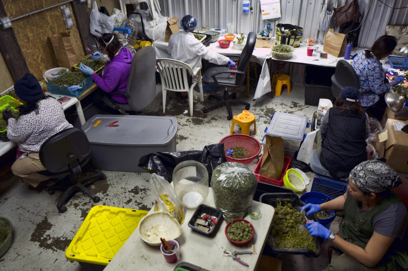FILE - In this Thursday, April 4, 2019, file photo, a Cambodian cannabis worker trims marijuana flowers at Loving Kindness Farms in Gardena, Calif. Immigration authorities on Friday, April 19, 2019 said that anyone with any involvement with marijuana, regardless of whether it's legal in the state they live in, can be denied from citizenship because the drug is still outlawed by federal law. (AP Photo/Richard Vogel, File)