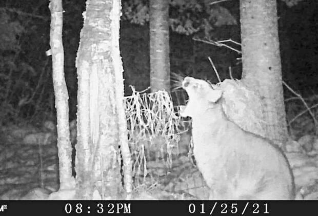 This cougar appeared on a trail cam located northwest of Thunder Bay, Ont., on January 25, 2021.