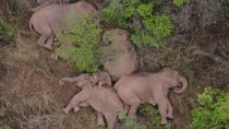 In this aerial photo taken June 7, 2021 and released by the Yunnan Forest Fire Brigade, a migrating herd of elephants rests near Xinyang Township in Jinning District of Kunming city in southwestern China's Yunnan Province. Already famous at home, China's wandering elephants are now becoming international stars. Major global media, including satellite news stations, news papers and wire services are chronicling the herd's more-than year-long, 500 kilometer (300 mile) trek from their home in a wildlife reserve in mountainous southwest Yunnan province to the outskirts of the provincial capital of Kunming. (Yunnan Forest Fire Brigade via AP)
