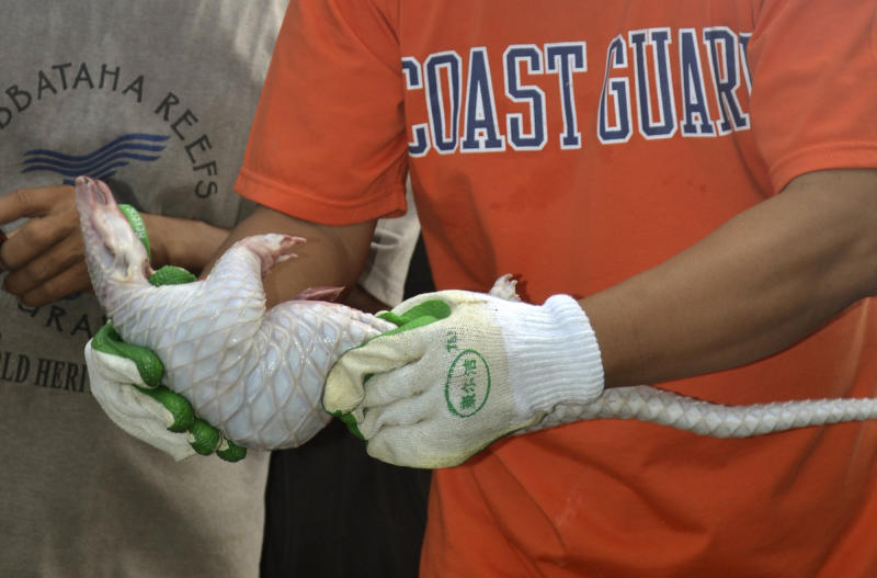 In this April 13, 2013 photo released by the Philippine Coast Guard, members of the Philippine Coast Guard hold a frozen pangolin or scaly anteater on board a Chinese vessel that ran into the Tubbataha coral reef, a UNESCO-designated World Heritage Site, in the southwestern Philippines. Authorities discovered more than 10,000 kilograms (22,000 pounds) of meat from the protected species, inside the Chinese vessel F/N Min Long Yu. (AP Photo/ Philippine Coast Guard) NO SALES