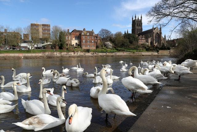 Swans swim on the banks of the River Severn in Worcester