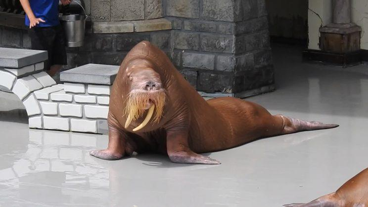 [This screenshot is from a video posted by a former Marineland trainer of Zeus, a resident walrus, looking thin. (Yahoo News)]