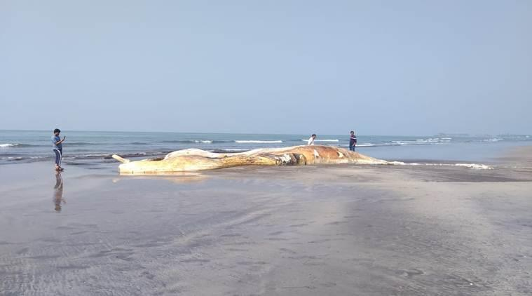 Ratnagiri: Carcass of 57-ft Bryde's whale washes ashore