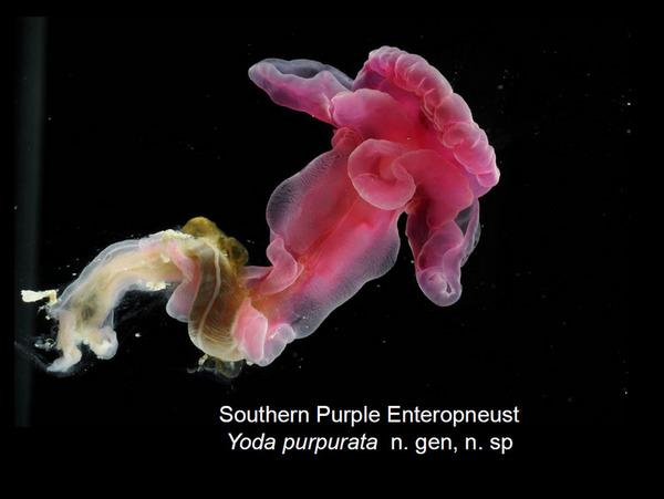 Newly Discovered Acorn Worm Named After Yoda