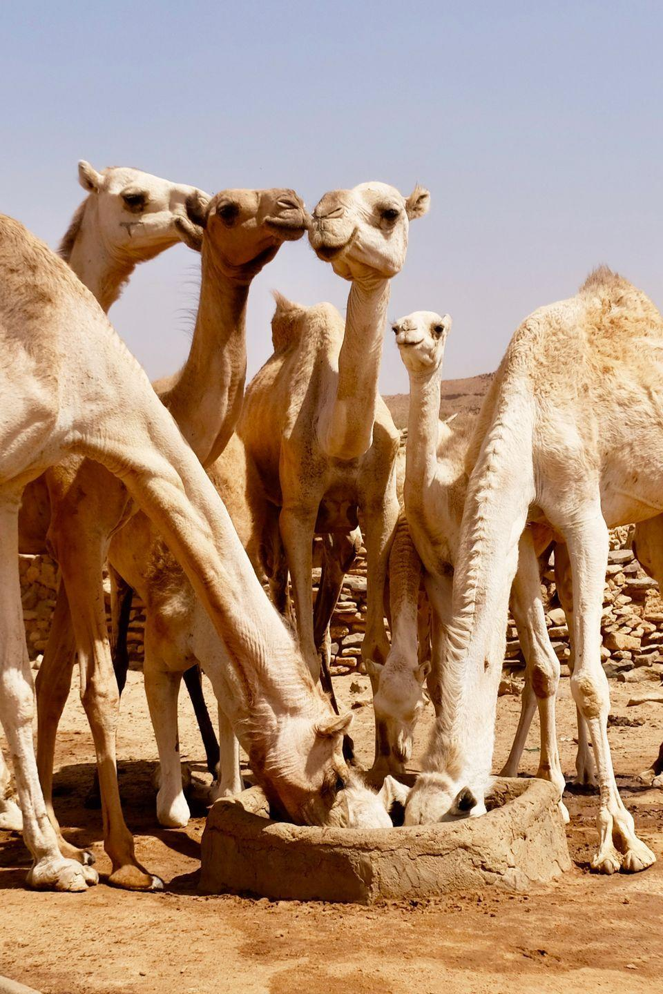 <p>Camels live in one of the most arid environments on Earth, adapted to travel great lengths through deserts. That means they've become masters at remaining hydrated with limited water resources. When they do drink water, they're capable of guzzling 30 gallons in under 15 minutes.</p>
