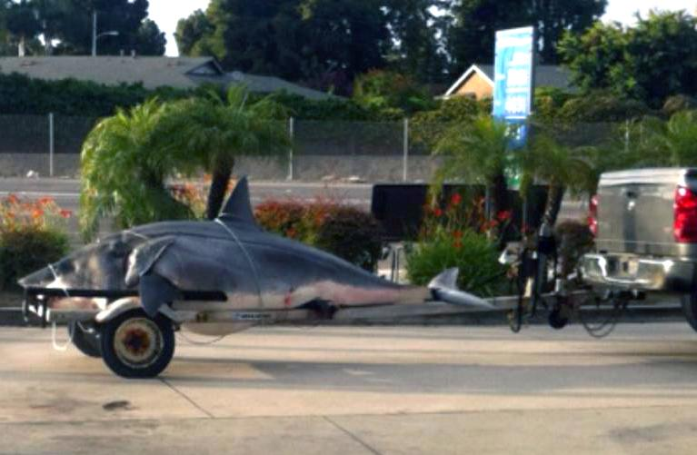 This June 4, 2013 photo courtesy Ray Pacheco shows the 1,323-pound mako shark on the back of a boat trailer being taken for an accurate weight reading to Gardena, Calif. The huge mako shark caught off the coast of Southern California on Monday June 3,2013 could set a record, but a critic said it should have been released because sharks are threatened worldwide. Jason Johnston of Texas caught the 1,323-pound shark off Huntington Beach after a 2 1/2-hour battle. (AP Photo/Courtesy Ray Pacheco)