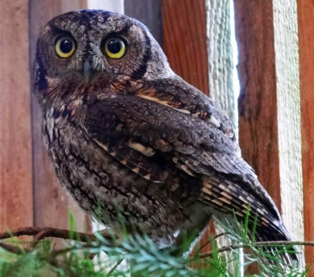 Western screech-owls are more often heard than seen due to their hollow, whistled double trill and a series of low hoots that speed up toward the end like a bouncing ball.