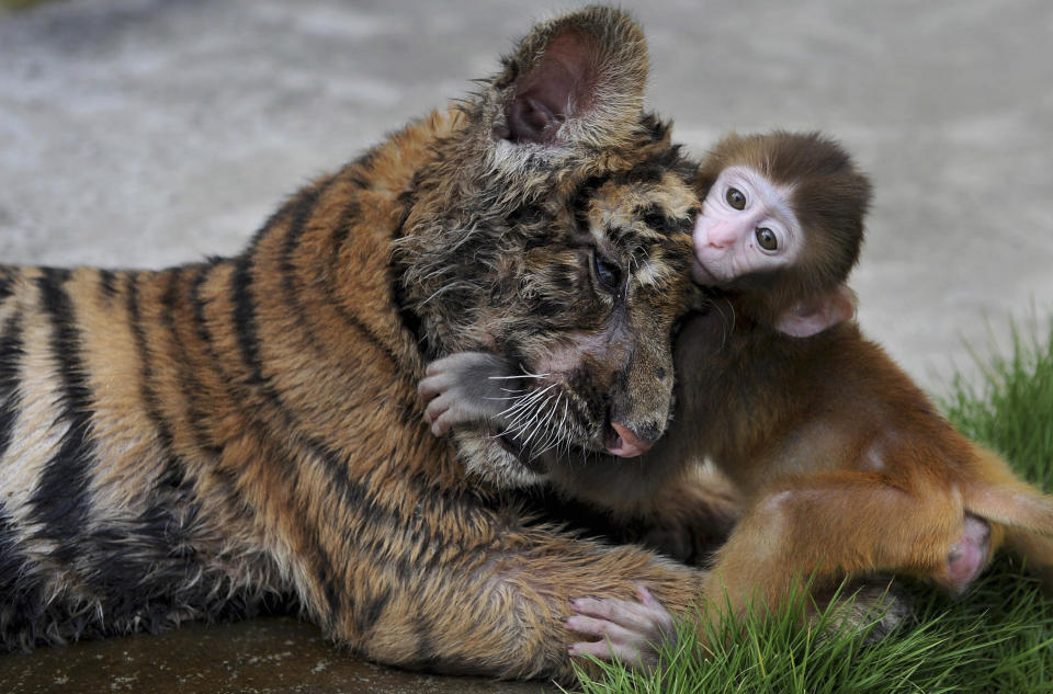 A baby rhesus macaque (Macaca mulatta) plays with a tiger cub at a zoo in Hefei, Anhui province. REUTERS/Stringer