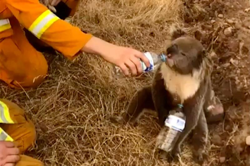 A koala drinks water from a bottle given by a firefighter in Cudlee Creek, South Australia. Thousands of koalas are feared to have died in a wildfire-ravaged area north of Sydney, further diminishing Australia's iconic marsupial.  (Photo: ASSOCIATED PRESS)