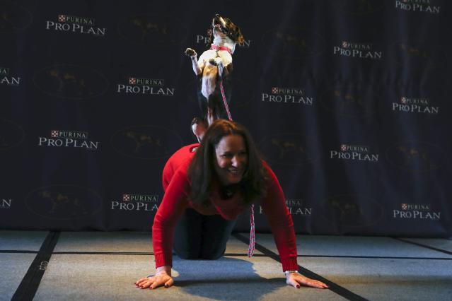 Hailey, a mixed Boston Terrier and Beagle breed, performs a trick with its owner Karen Profenna during a press conference for the upcoming 139th Annual Westminster Kennel Club Dog Show in New York January 21, 2015. REUTERS/Shannon Stapleton (UNITED STATES - Tags: ANIMALS SOCIETY)