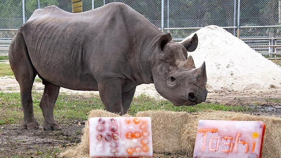 """<p>Toshi celebrated his 43rd birthday at a zoo in Miami, Florida. </p><div class=""""cnn--image__credit""""><em><small>Credit: Ron Magill/Zoo Miami / Zoo Miami</small></em></div>"""