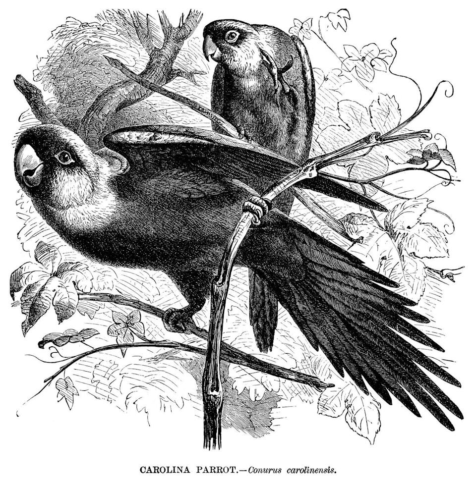 """<p>The Carolina parakeet was the only bird of its kind native to the eastern portion of the U.S. The last Carolina parakeet died at the Cincinnati Zoo in February of 1918 soon after his mate, Lady Jane, passed.</p><p><strong>Cause of Extinction:</strong> the <a href=""""https://www.smithsonianmag.com/science-nature/why-carolina-parakeet-go-extinct-180968740/"""" rel=""""nofollow noopener"""" target=""""_blank"""" data-ylk=""""slk:Smithsonian"""" class=""""link rapid-noclick-resp"""">Smithsonian</a> notes that while a specific reason doesn't explain the parakeet's extinction, it's likely that deforestation and disease are what offed the brightly colored birds. It also didn't help that their feathers were coveted fashion fixtures for women's hats.</p>"""