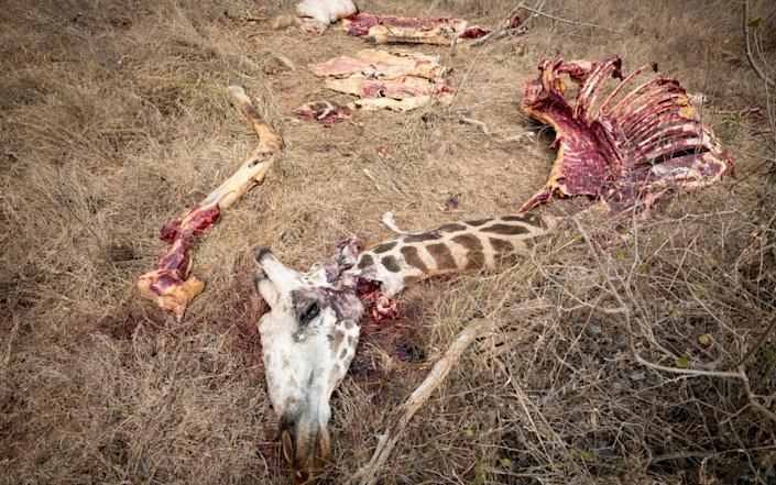 A dead giraffe which has been poached and butchered for food in the Rukinga Wildlife Sanctuary near Tsavo - Somon Townsley