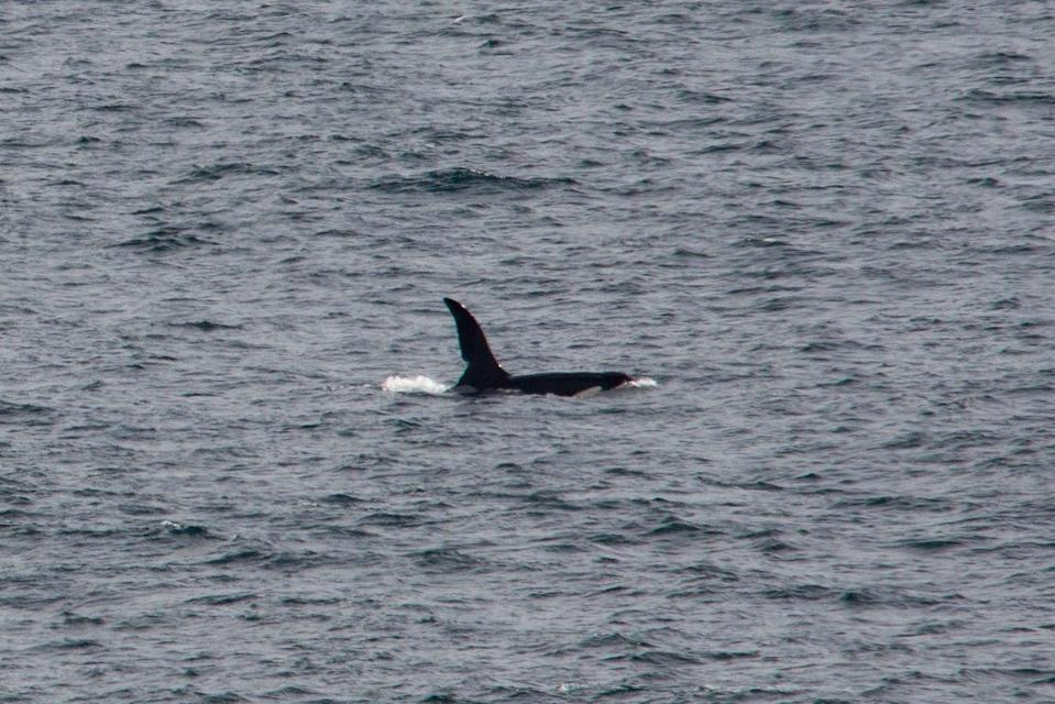 UK's only resident population of killer whales