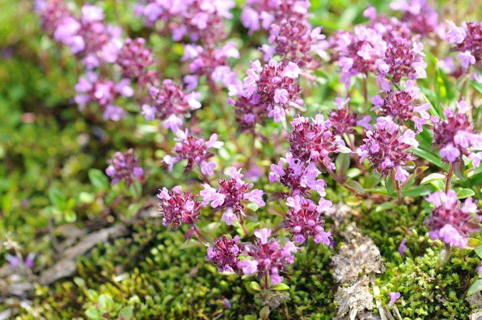 "<p>Low-growing mats of Creeping Thyme are covered in teeny purple or white flowers in late spring, which makes it a haven for pollinators. This tenacious perennial spreads rapidly, thrives in full sun, is cold hardy, grows in poor soil, and is drought tolerant once established. And, of course, you can snip off the leaves for cooking. </p><p><a class=""link rapid-noclick-resp"" href=""https://go.redirectingat.com?id=74968X1596630&url=https%3A%2F%2Fwww.etsy.com%2Flisting%2F731196399%2Fcreeping-thyme-seeds-111&sref=https%3A%2F%2Fwww.goodhousekeeping.com%2Fhome%2Fgardening%2Fg32440508%2Fbest-ground-cover-plants%2F"" rel=""nofollow noopener"" target=""_blank"" data-ylk=""slk:SHOP NOW"">SHOP NOW</a></p>"
