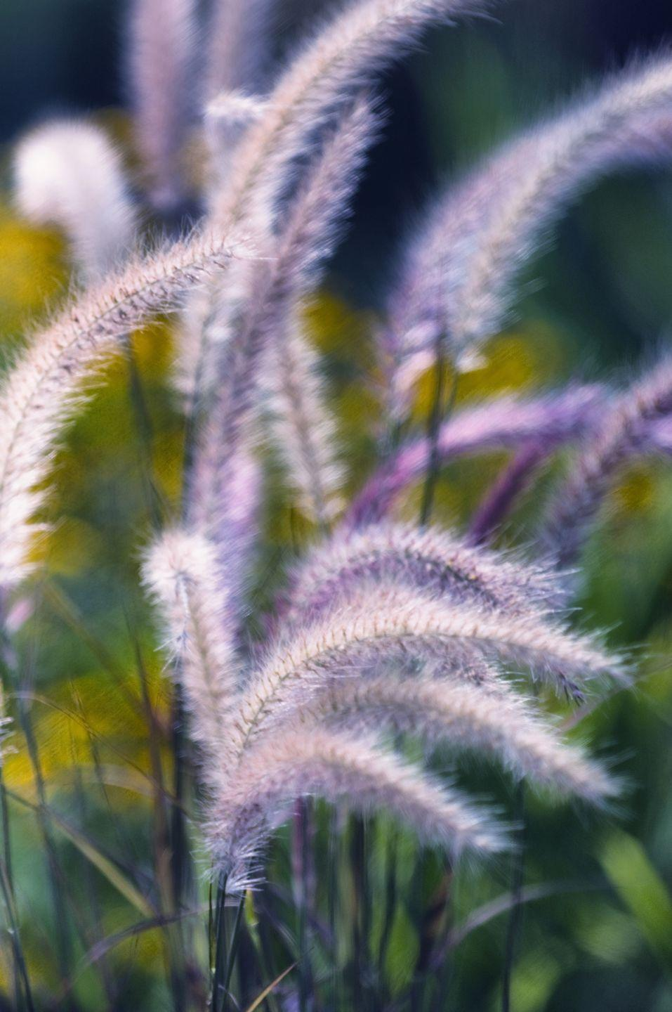 <p>This grass is a perfect pairing for other fall flowers like pansies, rudbeckia and flowering kale. Put it in the back of the garden to show off shorter stems.<br></p><p><strong>Zones: 1-8</strong></p>