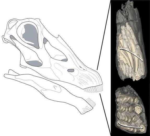 This illustration of a Diploducus skull is pictured alongside CT scan-generated images of some teeth in the front of the dinosaur's jaws. In the image, bone is transparent and teeth are yellow. The arrows show the direction of tooth replacement