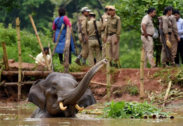<p>Forest officials try to rescue an injured elephant who fell into a pond at the Amchang Wildlife Sanctuary on the outskirts of Guwahati, India May 24, 2017. (Photo: Anuwar Hazarika/Reuters) </p>
