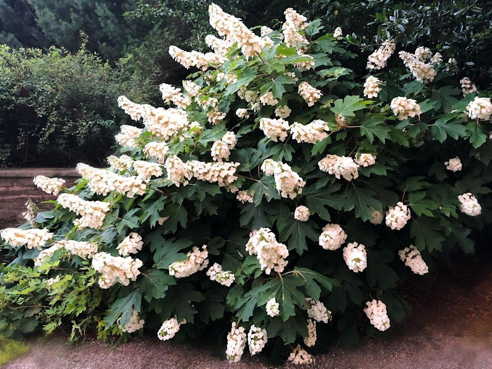 <p>These gorgeous shrubs may flower in the summer, but their foliage turns brilliant hues of purple, rust and red in the fall making it a no brainer with 3 out 4 seasons of pretty greenery.</p><p><strong>When it blooms: </strong>May and July</p><p><strong>Where to plant:</strong> Partial shade to full sun</p><p><strong>When to plant: </strong>Late fall or early spring</p><p><strong>USDA Hardiness Zones: </strong>5 to 9</p>