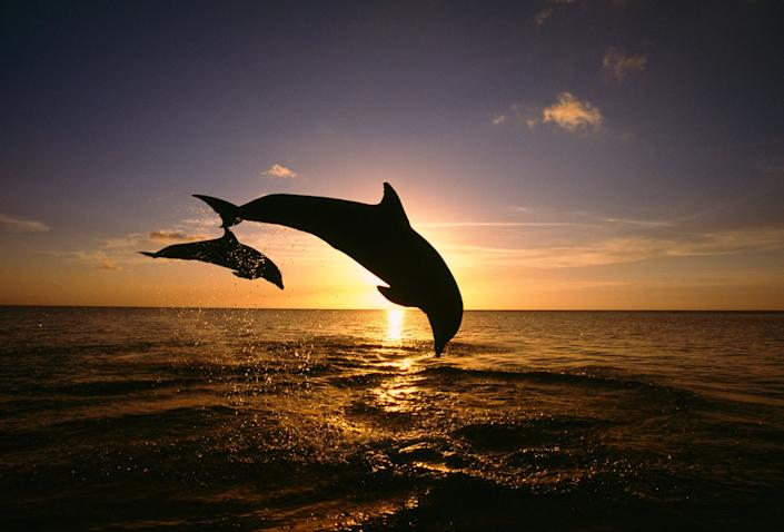 Two bottlenose dolphins leaping from the ocean at sunset, Roatan, Honduras.