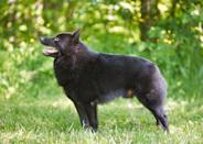 """<div class=""""caption-credit""""> Photo by: Lee Feldstein, Animal Photography</div><b>Schipperke</b> <br> The name <a rel=""""nofollow noopener"""" href=""""http://www.vetstreet.com/dogs/schipperke?WT.mc_id=cc_yahoo"""" target=""""_blank"""" data-ylk=""""slk:Schipperke"""" class=""""link rapid-noclick-resp"""">Schipperke</a> derives from the Flemish for """"little captain"""" because these black-coated canines once worked as watchdogs on canal boats."""