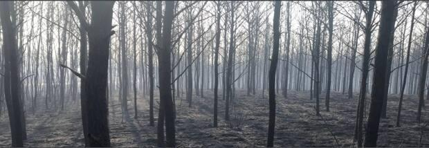 The Cloverdale Fire left a swath of blackened trees in the forest northeast of Prince Albert. (Dan Zakreski/CBC - image credit)