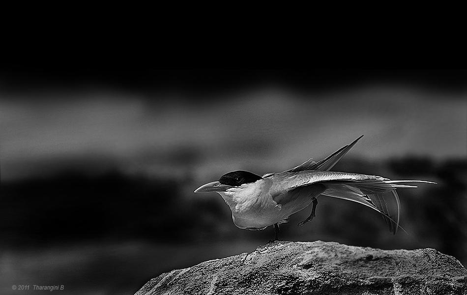 And a 'tern' of events as this River Tern, the most photographed inmate of Ranganathitthu, stretches and poses, albeit looking profoundly bored.