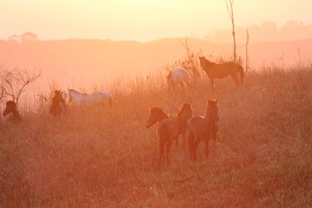 Horses graze in a field on early morning, in Waingapu, on Indonesia's Sumba island, on September 24, 2014 (AFP Photo/Chris McCall)