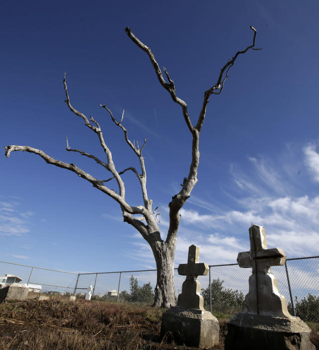 In this Dec. 29, 2012 photo, a leafless tree stands over graves in the Cheniere Caminada cemetery in Grand Isle, La. Many coastal Louisiana cemeteries are just skeletons of what they used to be. The few trees still standing have been killed by saltwater intrusion from the Gulf. Their leafless branches are suspended above marsh grass left brown and soggy from saltwater that has crept up from beneath the graves. (AP Photo/Dave Martin)