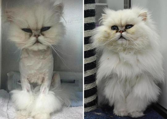 Meet the stray persian cat called penelope whos had a haircut to view photos winobraniefo Images