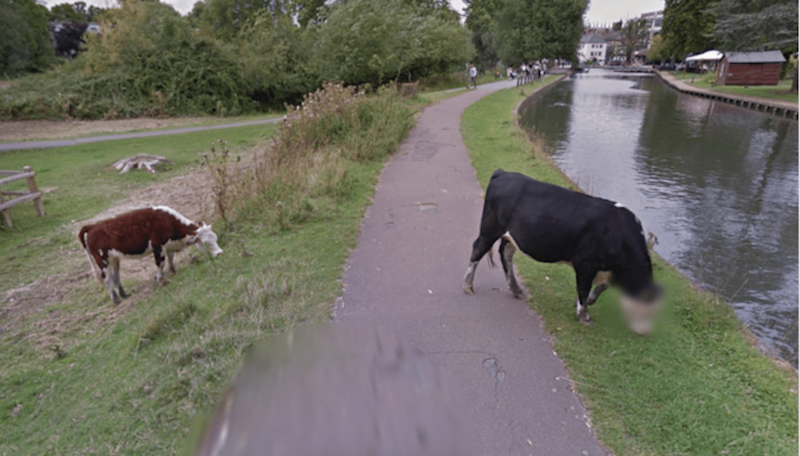 Is this cow a government informant? Google blurs bovine's face in Street View
