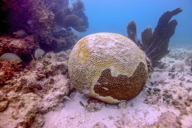 In a little over a year, the Mexican Caribbean has lost more than 30 percent of its corals to a little-understood illness called tony coral tissue loss disease, which causes them to calcify and die (AFP Photo/Armando GASSE)