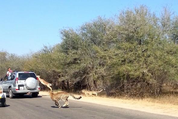 Impala leaps into tourists' car to escape cheetah at Kruger National Park