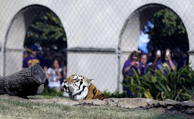 Mike VI, LSU's live tiger mascot, died in October. (AP)