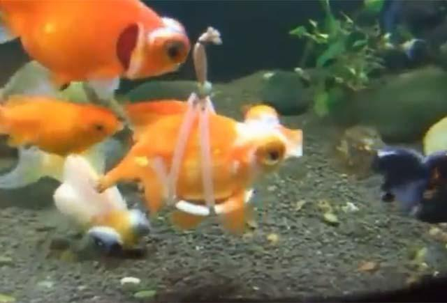 A caring owner created a floating sling to help his goldfish swim.