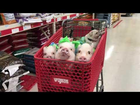 <p>In this video, Melissa is buying food for her rescue animals with a gang of pets in tow: pigs named Prissy, Pop, Posey and Pink, as well as a pug named Pigtail. The group seem quite at home in the shopping trolley, though there isn't much space left! Credit: prissy_pig via Storyful</p>
