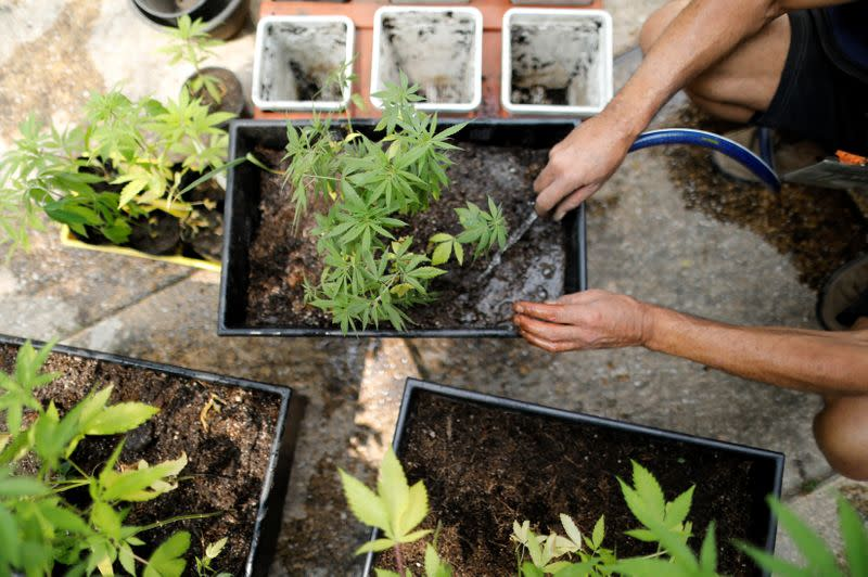 Cannabis garden next to Mexico's Senate building in a call for legalization